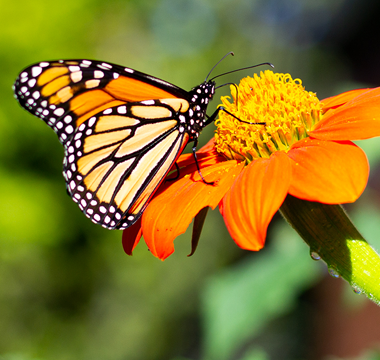 Monarch discoveries in the Historic Campus garden